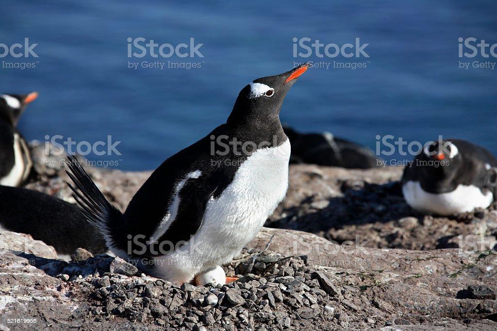 Gentoo Penguin Colony - Antarctica stock photo