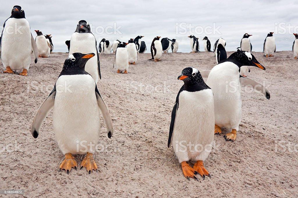 Gentoo Penguin Colony - Falkland Islands stock photo