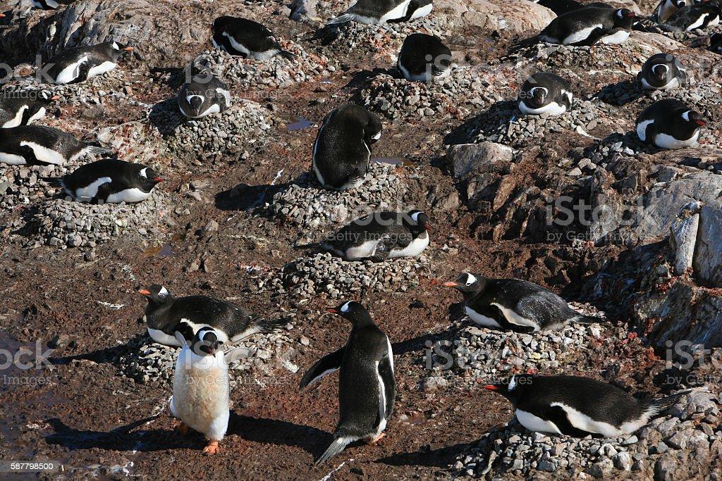 Gentoo penguin colony nesting in Neko Harbour, Antarctica. stock photo