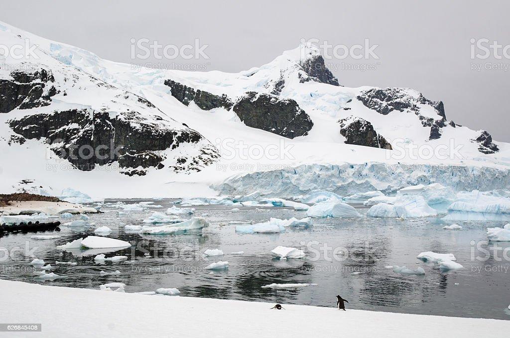 Gentoo Penguin colony on Cuverville Island Antarctica stock photo