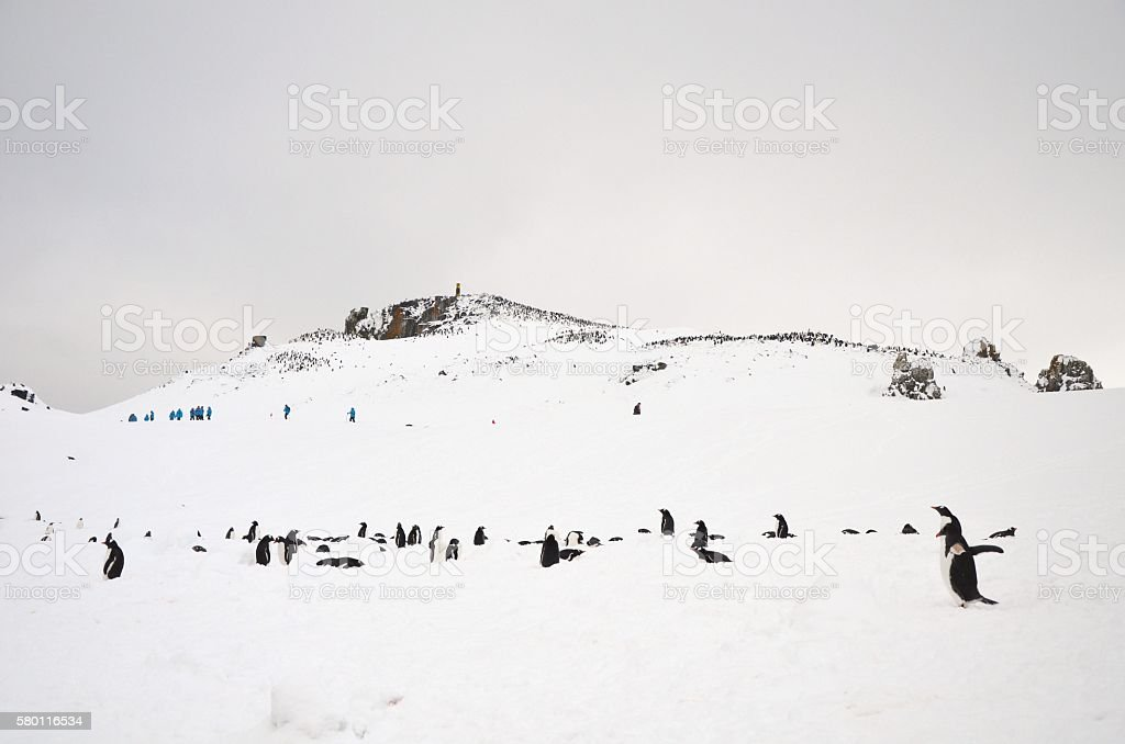 Gentoo Penguin Colony stock photo
