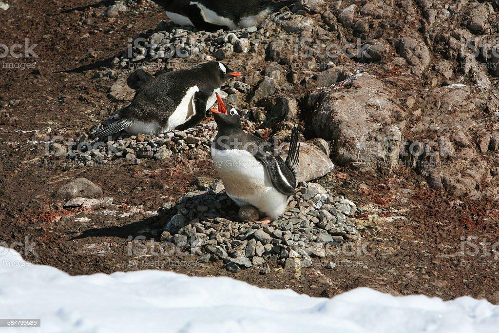 Gentoo penguin defending its egg in Neko Harbour, Antarctica. stock photo