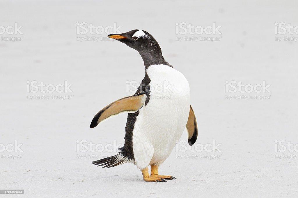 Gentoo penguin, Falkland Islands royalty-free stock photo