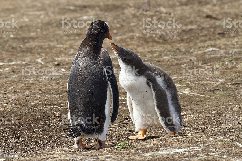 Gentoo penguin female and her chick stock photo