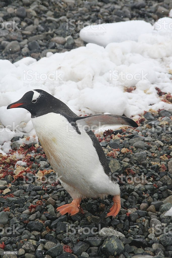 Gentoo penguin, hopping to the water stock photo