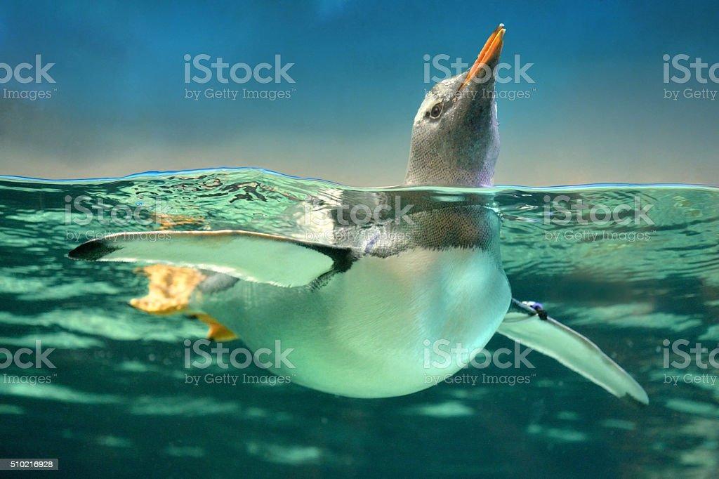 Gentoo Penguin in Water stock photo