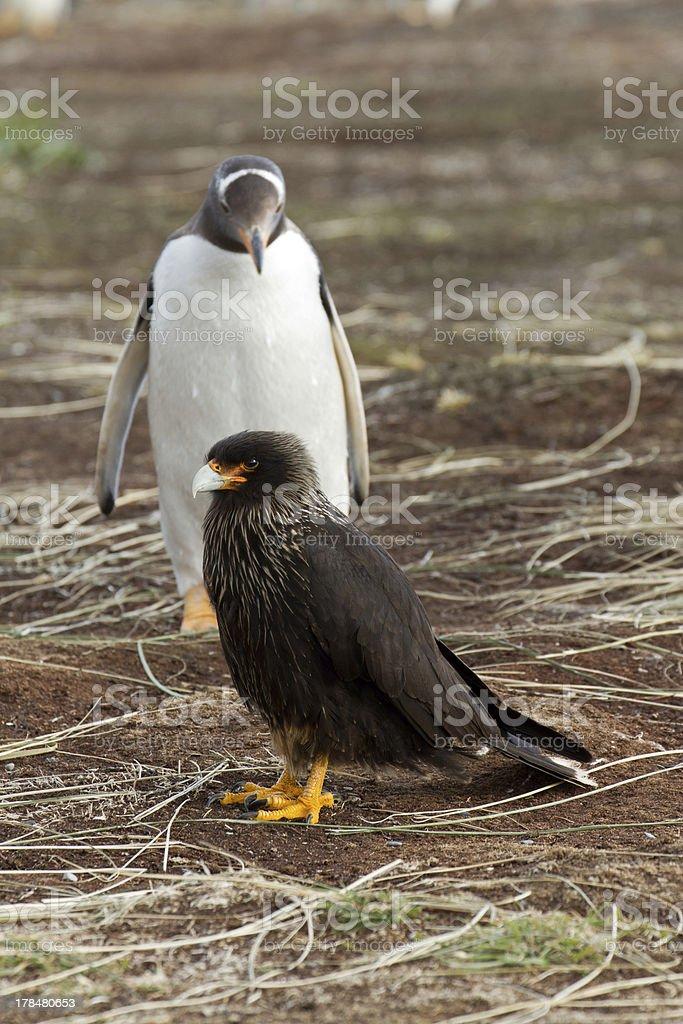 Gentoo Penguin is looking curious to a caracara bird stock photo