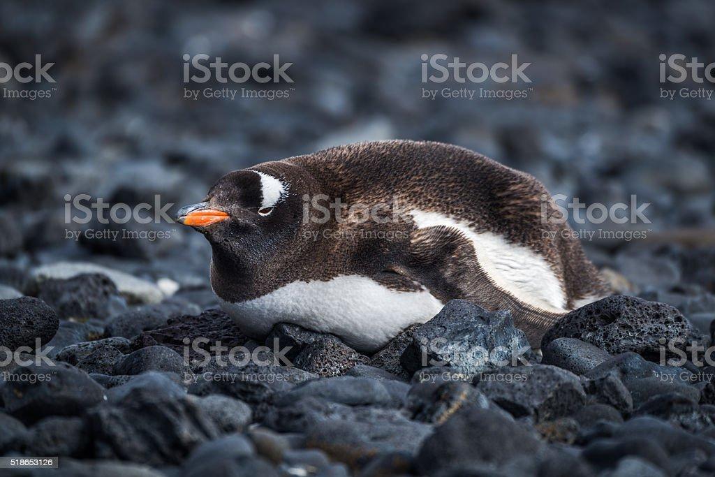 Gentoo penguin lying on black rocky beach stock photo