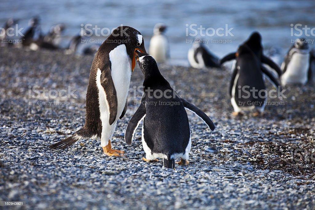 Gentoo Penguin Mother Feeding stock photo