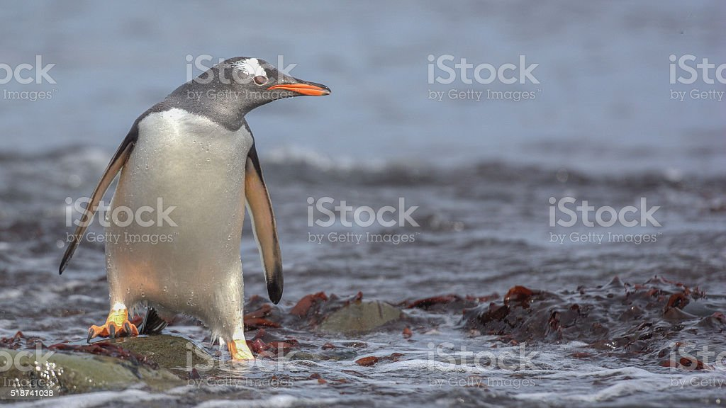 Gentoo Penguin on South Georgia Island stock photo