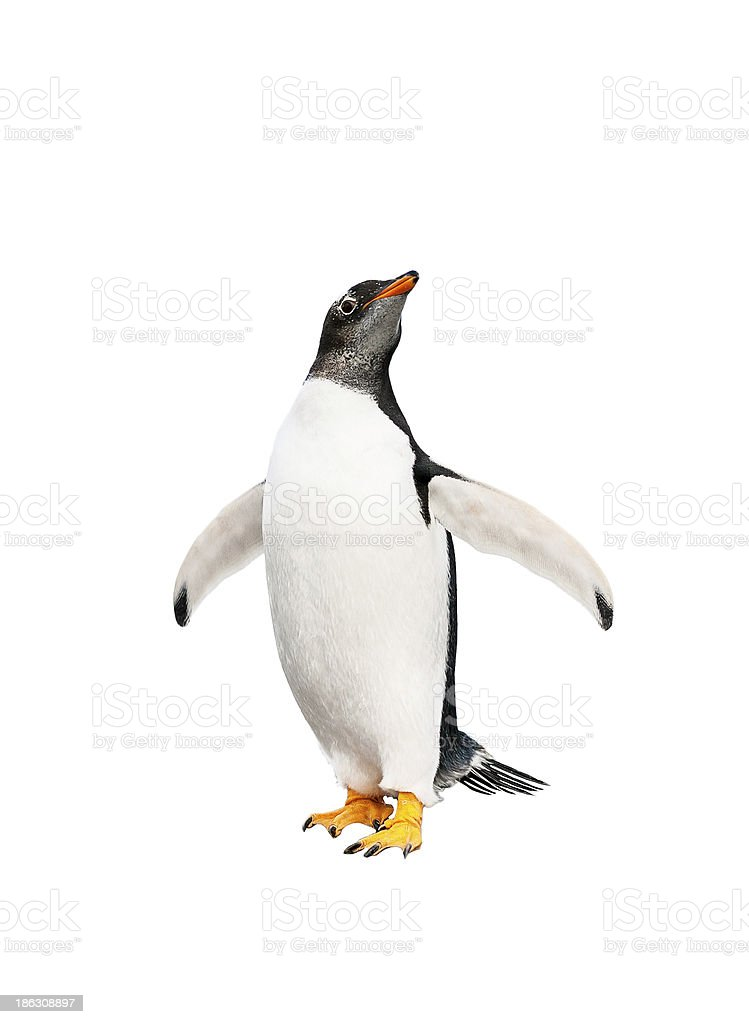 gentoo penguin over white background stock photo