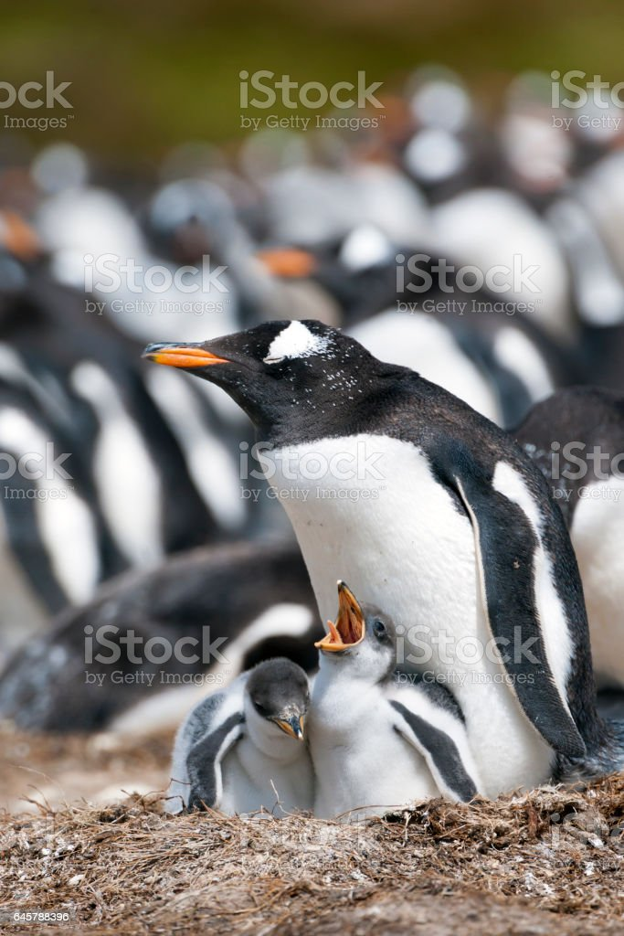 Gentoo Penguin Parent with Two Chicks on the Falkland Islands stock photo
