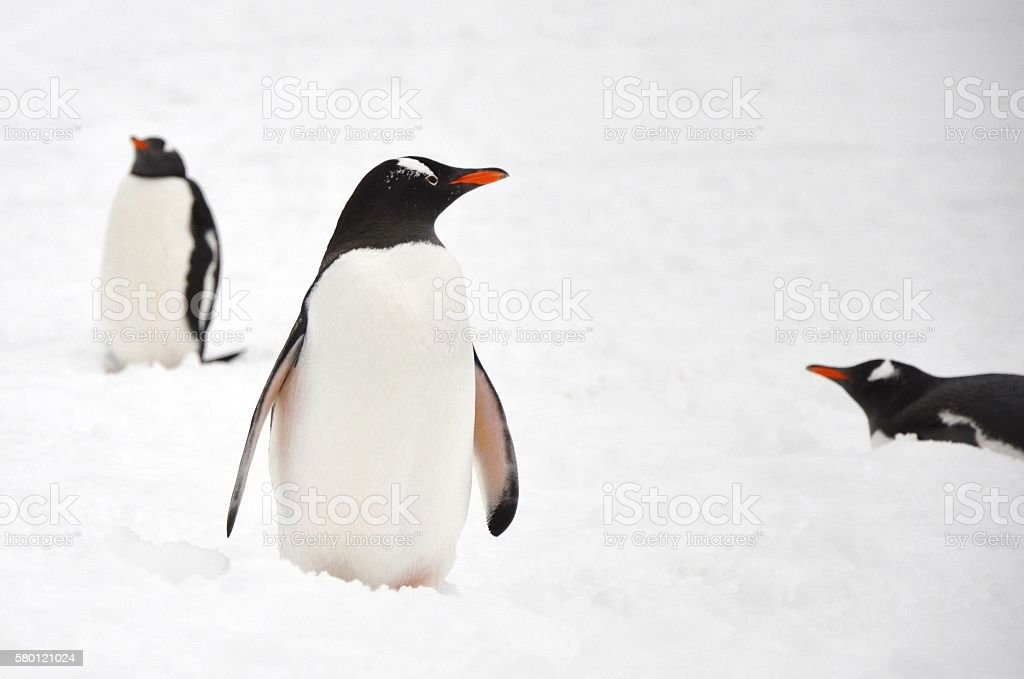 Gentoo Penguin stock photo