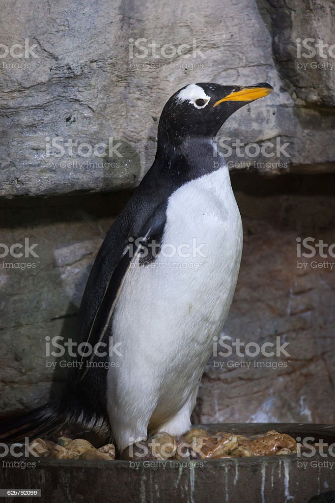 Gentoo penguin (Pygoscelis papua). stock photo