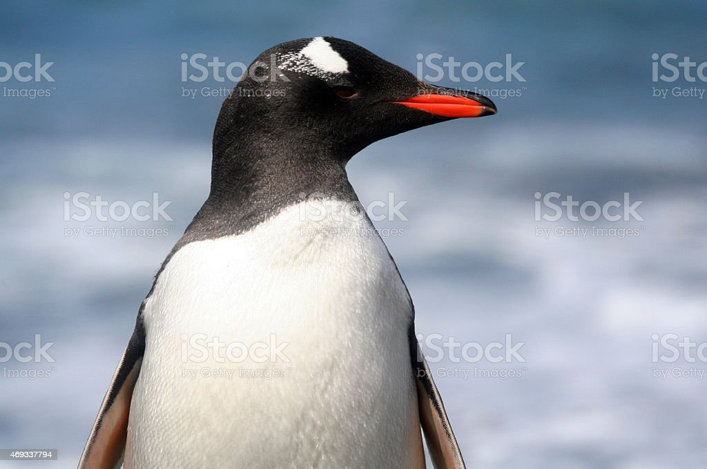 Gentoo Penguin Profile royalty-free stock photo