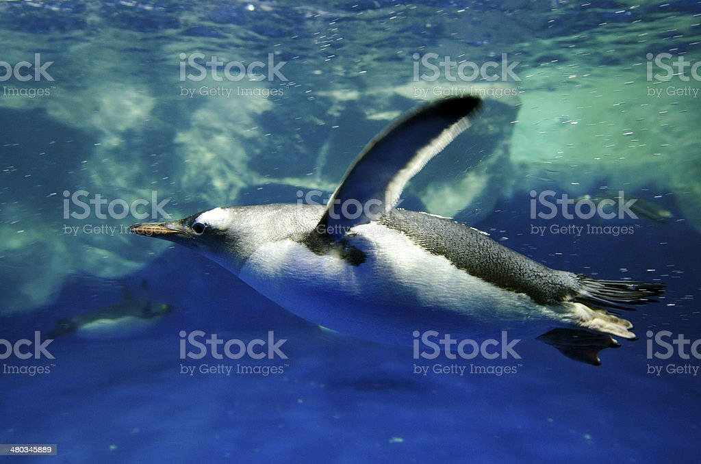 Gentoo Penguin - Pygoscelis papua stock photo