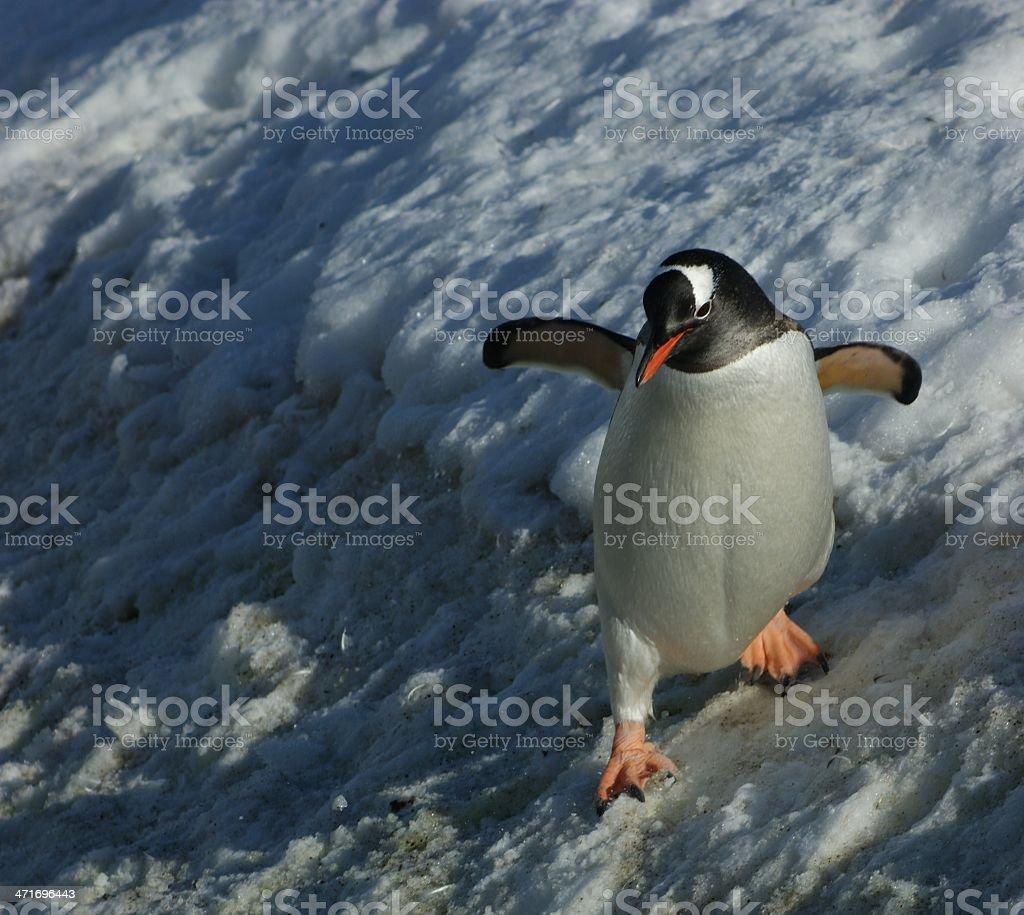 Gentoo Penguin Sliding Down Ice in Antarctica stock photo