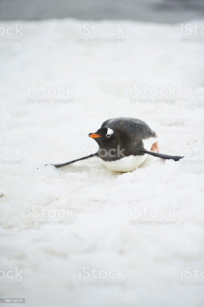 Gentoo penguin sliding stock photo