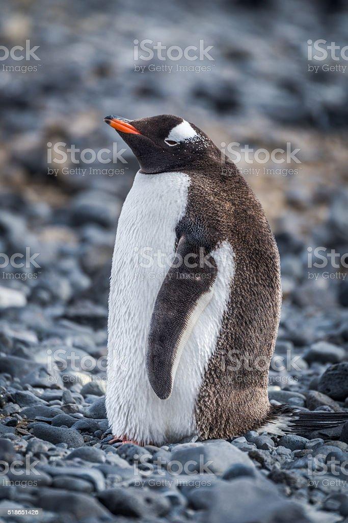 Gentoo penguin standing on grey shingle beach stock photo