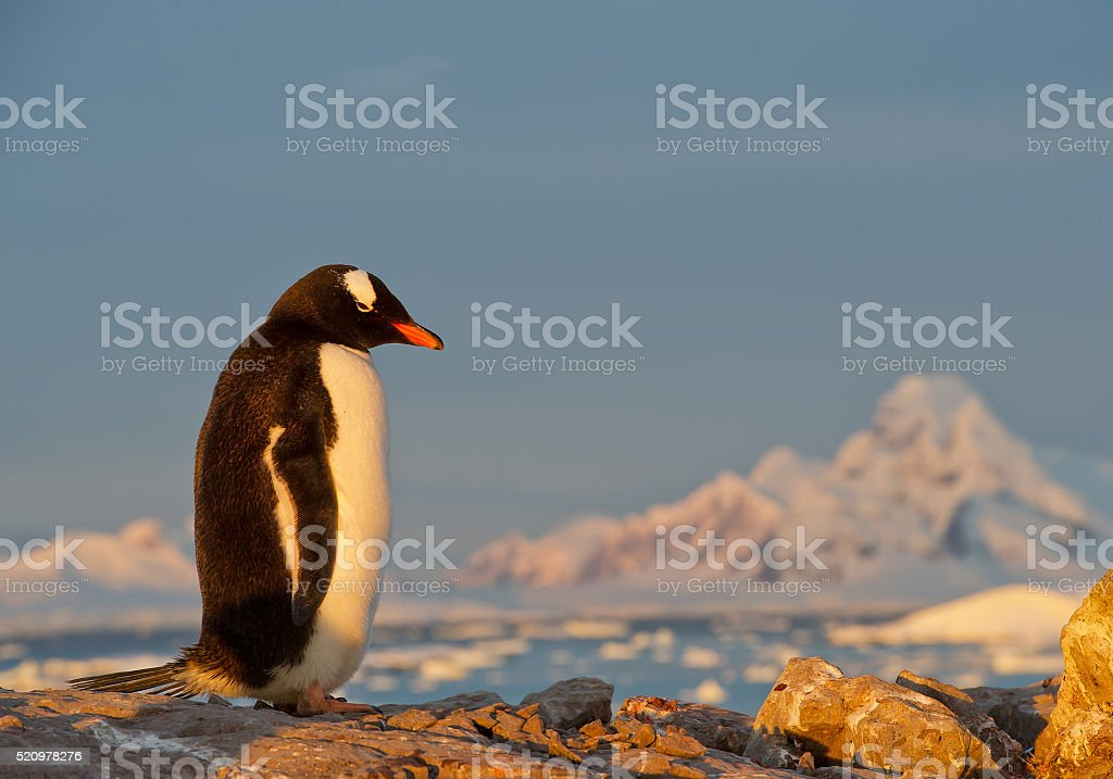 Gentoo penguin standing on the rock stock photo