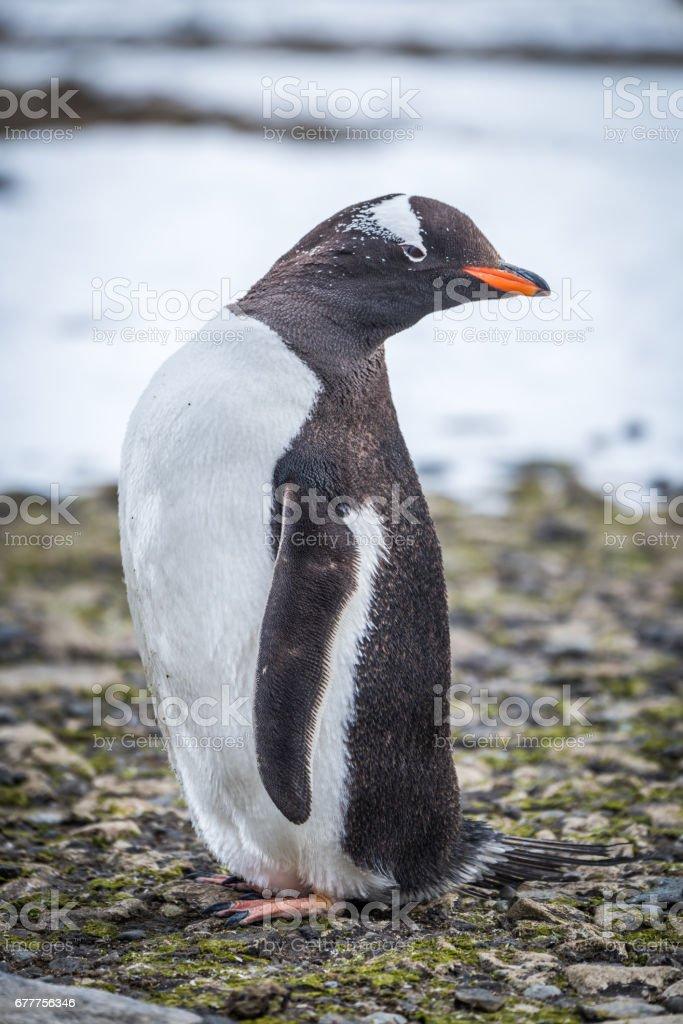 Gentoo penguin turning head on shingle beach stock photo