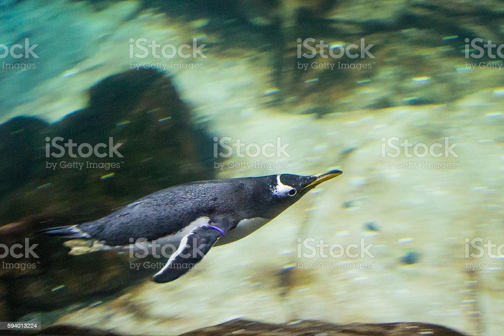 Gentoo Penguin Under Water stock photo