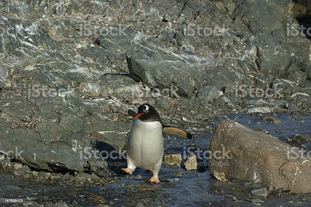 Gentoo Penguin Waddling stock photo