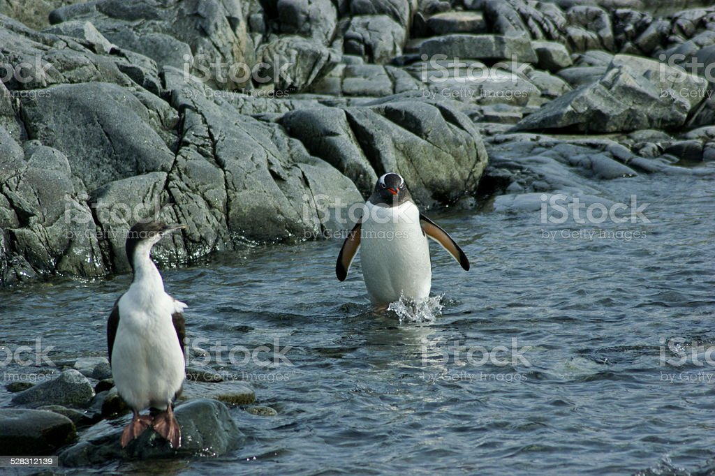 Gentoo Penguin wading through the water with a Blue-eyed cormorant stock photo