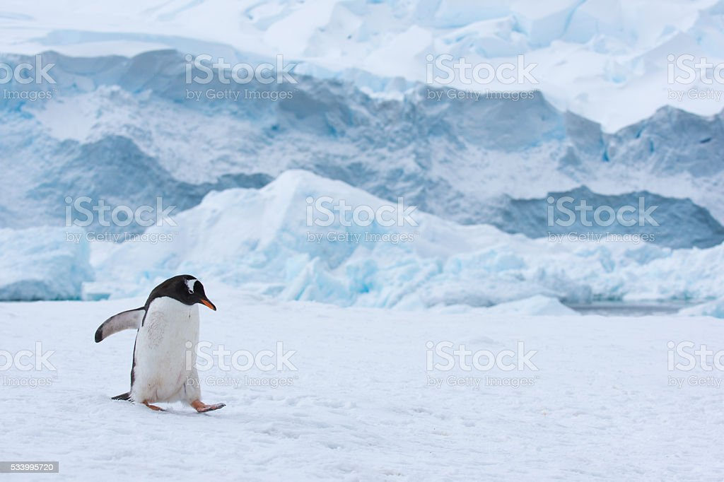 Gentoo penguin walking in snow in Antarctica stock photo