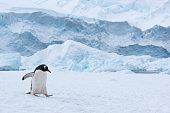 Gentoo penguin walking in snow in Antarctica