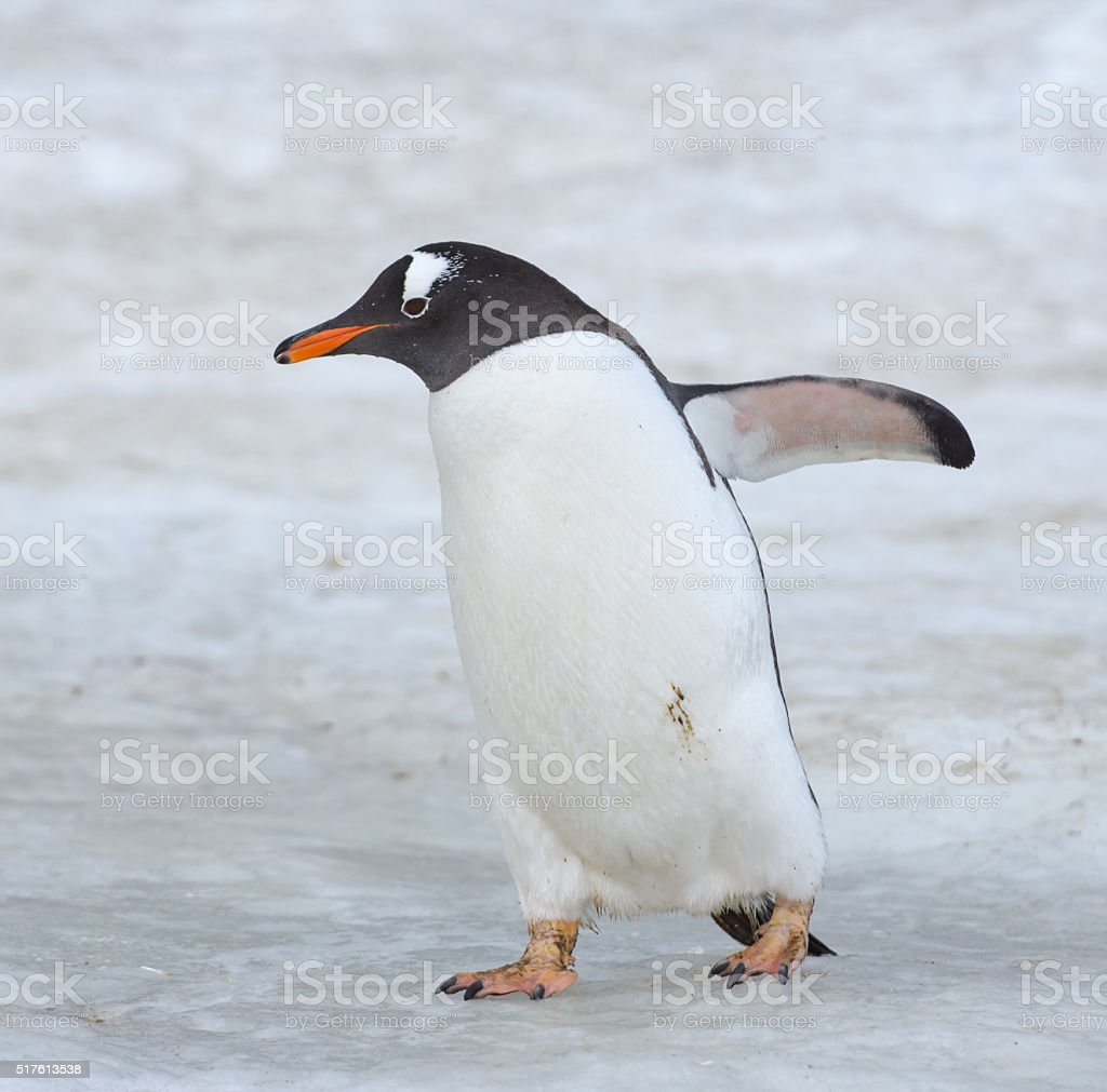 Gentoo penguin walking on snow in Antarctica stock photo
