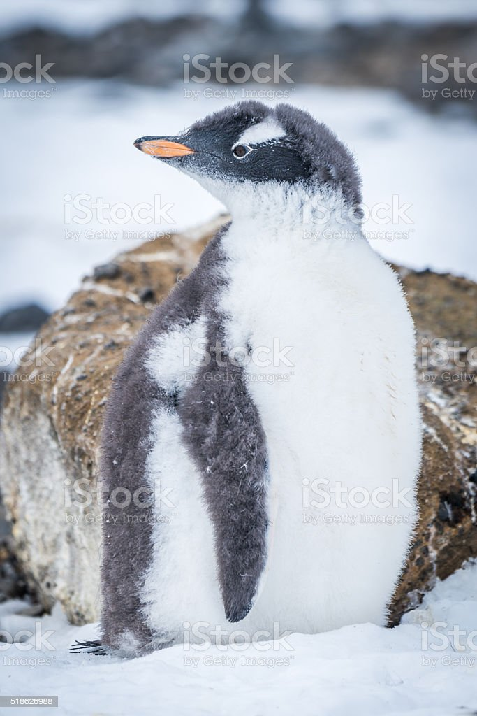 Gentoo penguin with turned head on snow stock photo