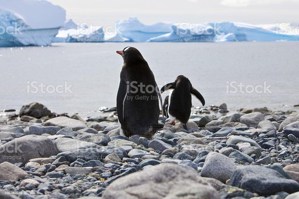 Gentoo penguins Antarctica stock photo