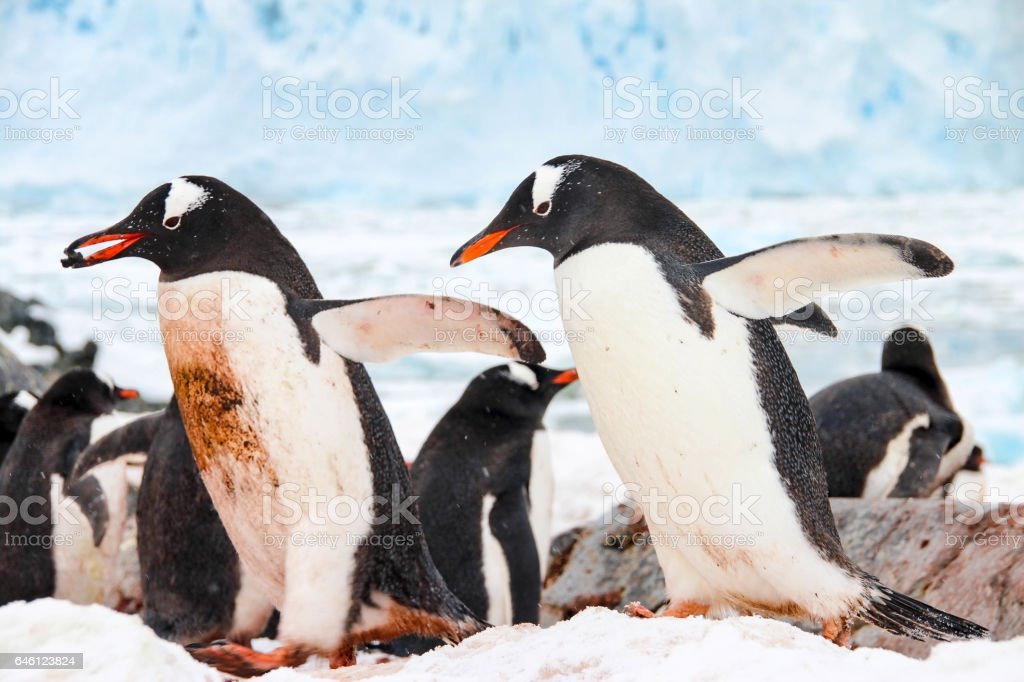 Gentoo penguins, Antarctica stock photo