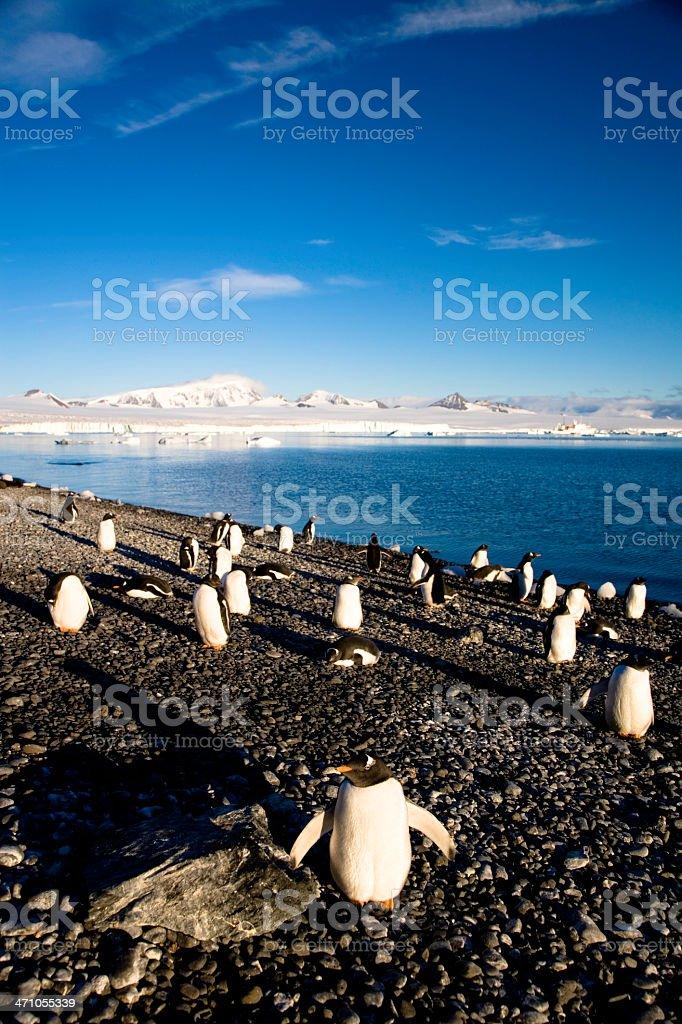 Gentoo Penguins at Stone Beach royalty-free stock photo