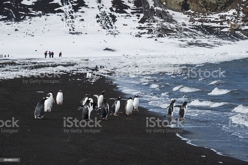Gentoo penguins at the black sand beach stock photo