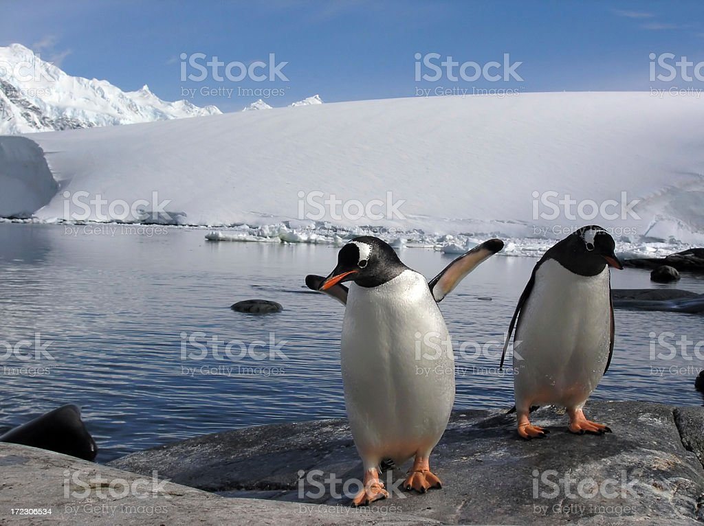 Gentoo Penguins Back from a Fishing Trip. royalty-free stock photo