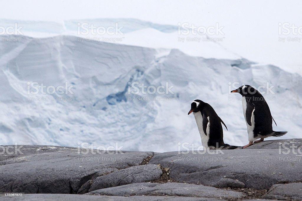 Gentoo Penguins in Antarctica stock photo