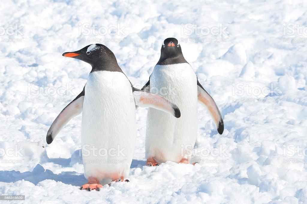 Gentoo penguins in Bright Sunlight stock photo