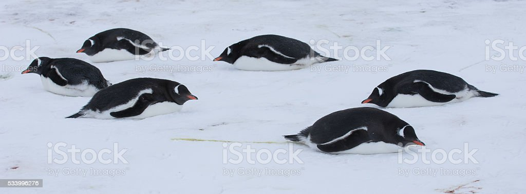 Gentoo penguins lying in the snow in Anarctica stock photo