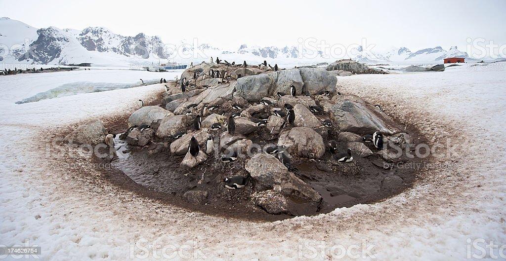 Gentoo Penguins Nesting Pit stock photo