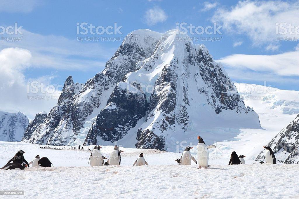 Gentoo Penguins on a Ridge stock photo