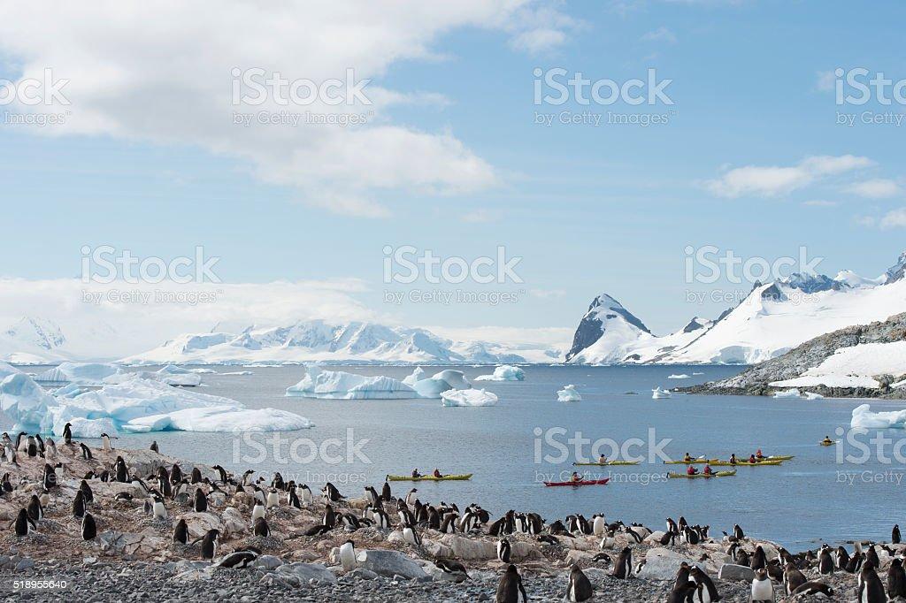 Gentoo Penguins on the nest stock photo