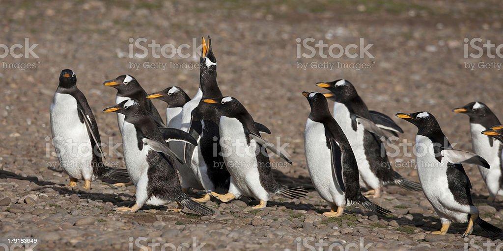 Gentoo Penguins royalty-free stock photo