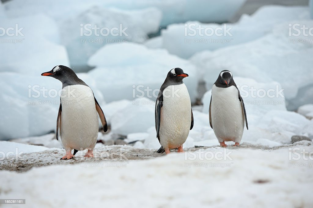 Gentoo penguins stock photo