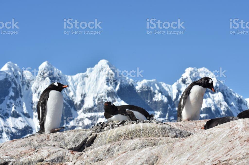 Gentoo Penguins stock photo