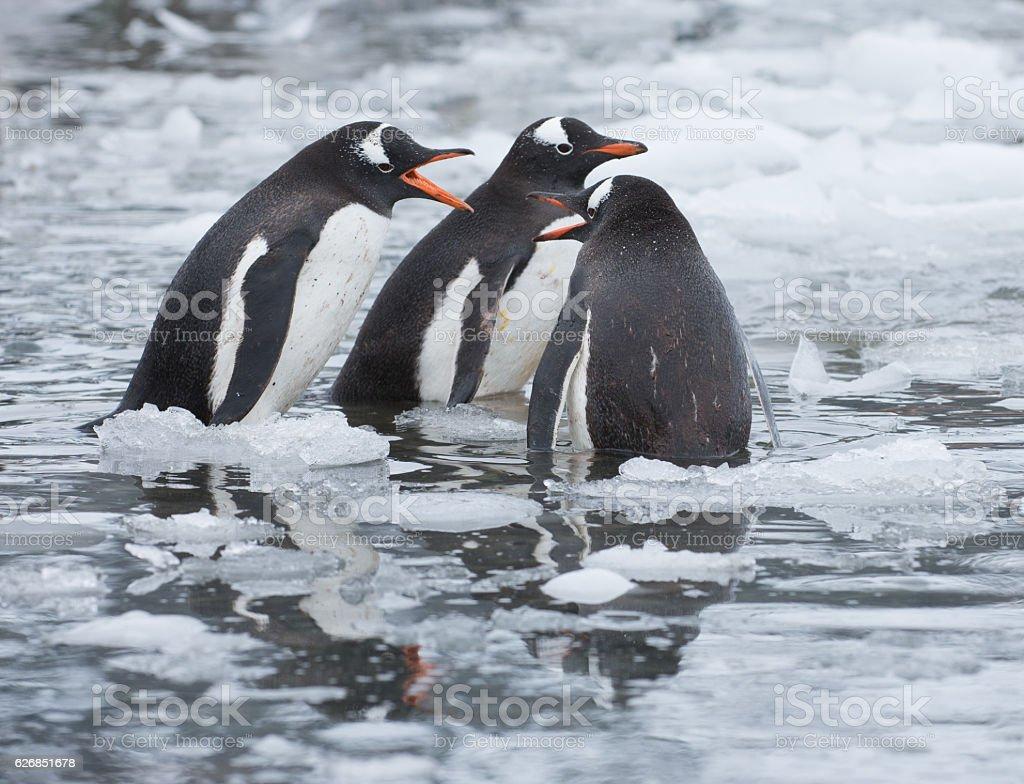 Gentoo penguins standing in icy water in Antarctica stock photo