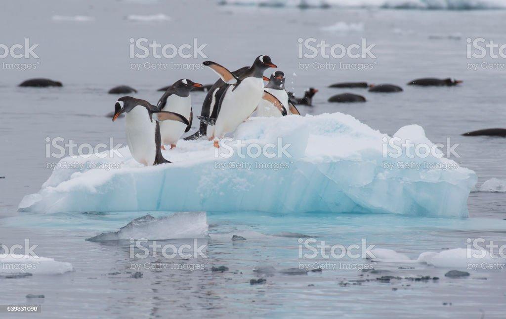 Gentoo Penguins walk on the ice stock photo