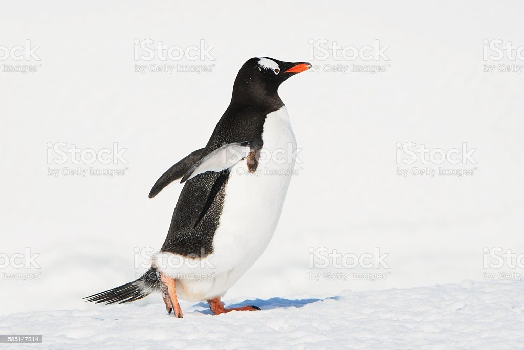 Gentoo with Wings Out stock photo