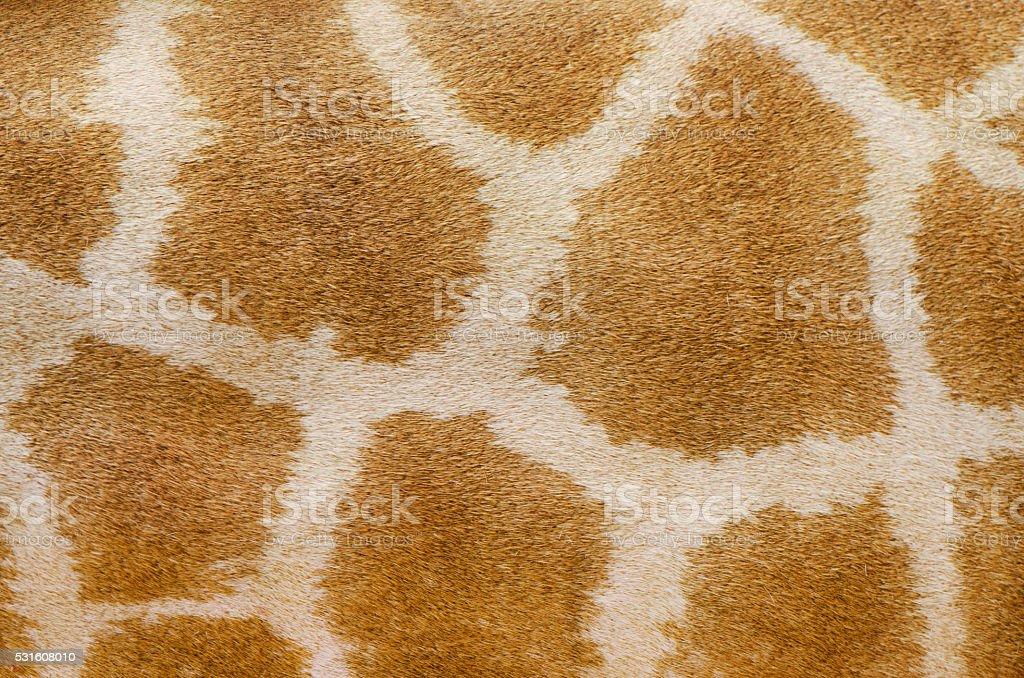genuine leather skin of giraffe stock photo